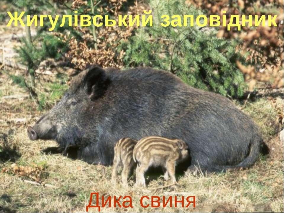 Жигулівський заповідник Дика свиня