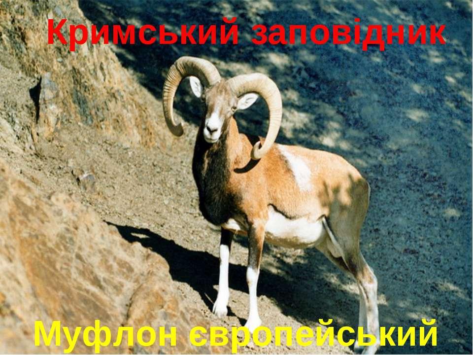 Муфлон європейський Кримський заповідник