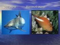 Сіра акула Морський окунь