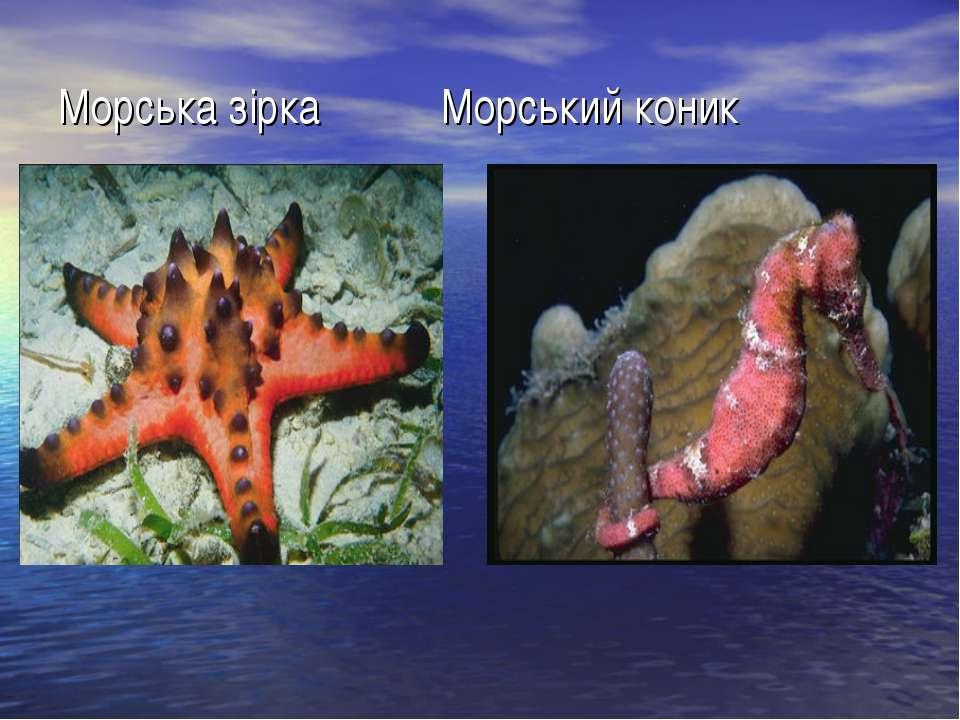 Морська зірка Морський коник