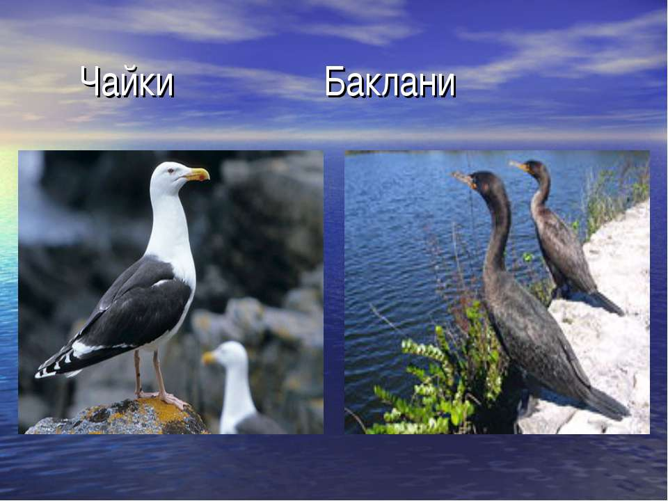 Чайки Баклани