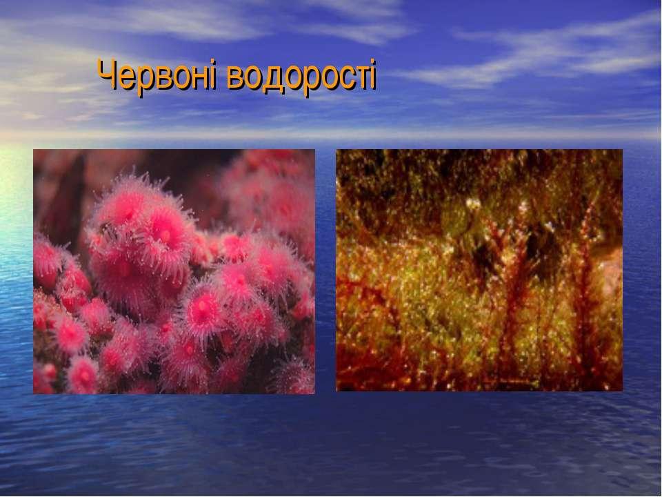 Червоні водорості