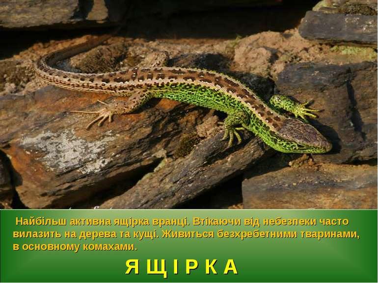 Я Щ І Р К А Найбільш активна ящірка вранці. Втікаючи від небезпеки часто вила...