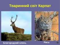 Тваринний світ Карпат Благородний олень Рись