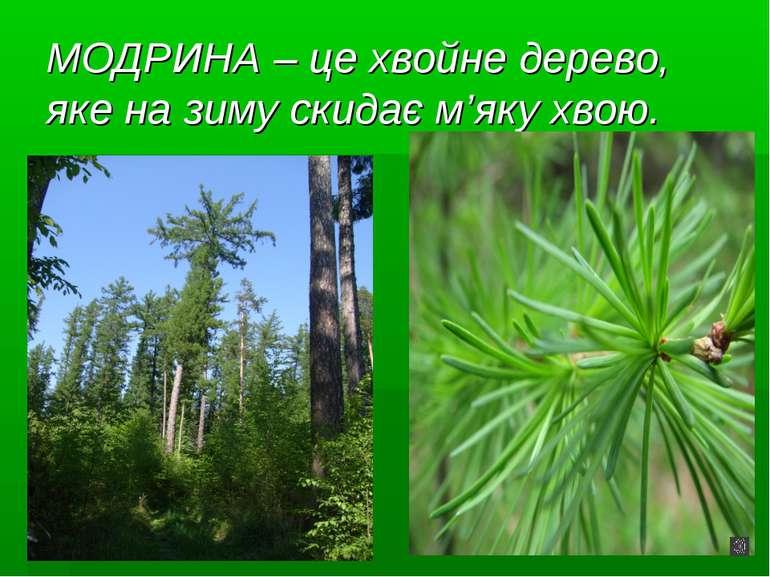МОДРИНА – це хвойне дерево, яке на зиму скидає м'яку хвою.