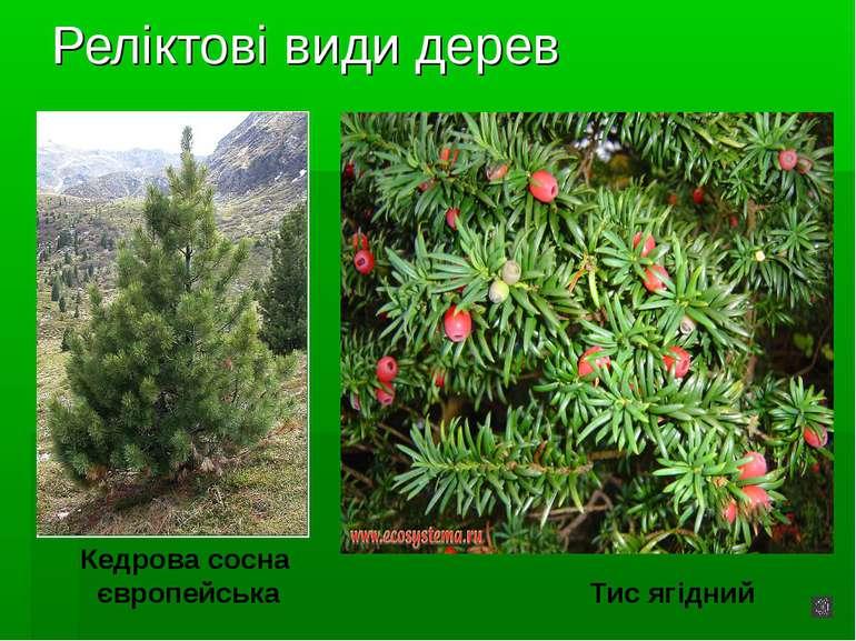 Реліктові види дерев Кедрова сосна європейська Тис ягідний