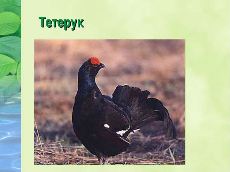 Тетерук