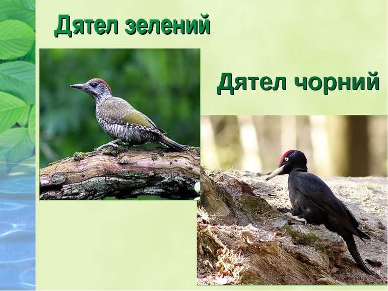 Дятел зелений Дятел чорний