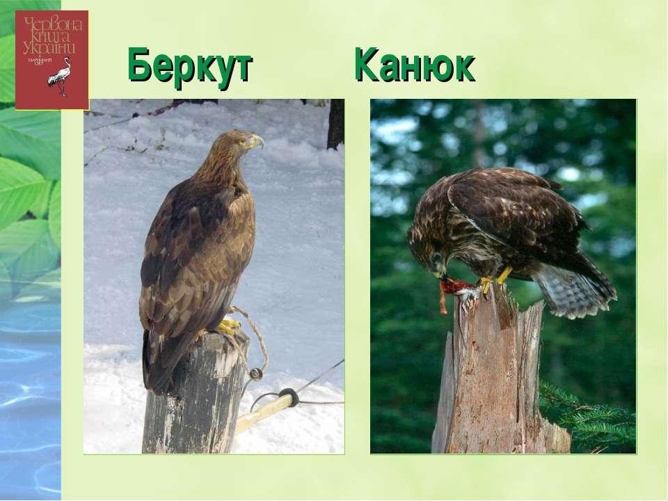 Беркут Канюк
