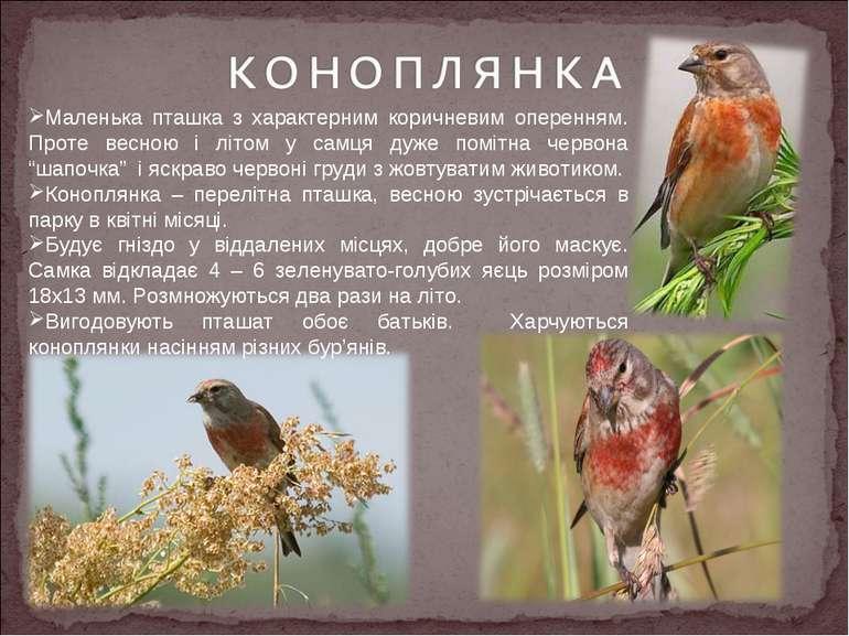 Маленька пташка з характерним коричневим оперенням. Проте весною і літом у са...