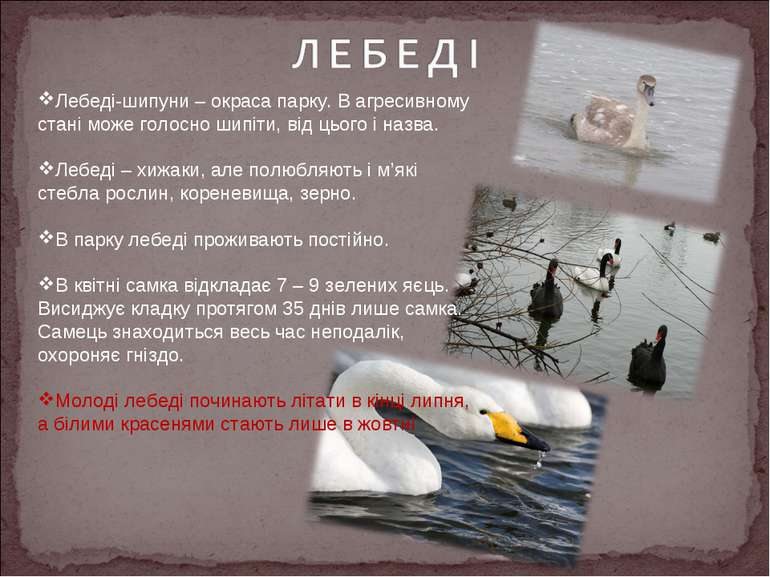 Лебеді-шипуни – окраса парку. В агресивному стані може голосно шипіти, від ць...
