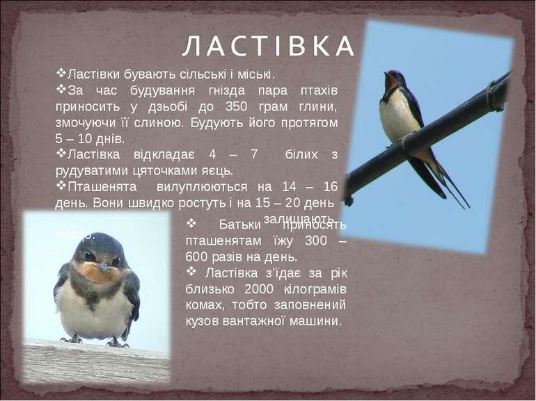 Ластівки бувають сільські і міські. За час будування гнізда пара птахів прино...