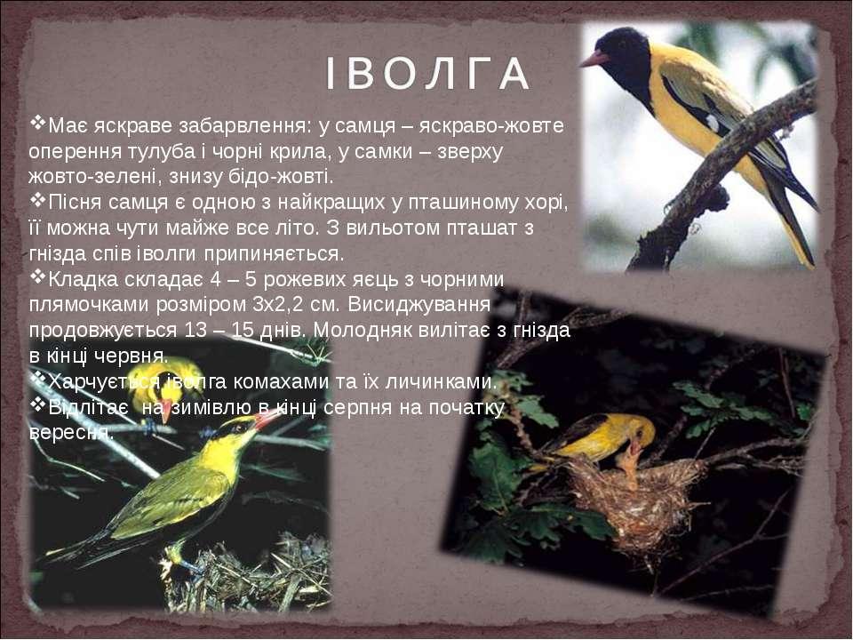 Має яскраве забарвлення: у самця – яскраво-жовте оперення тулуба і чорні крил...