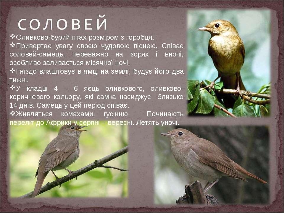 Оливково-бурий птах розміром з горобця. Привертає увагу своєю чудовою піснею....