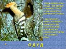 Одуд звиває своє гніздо і вигодовує пташенят. Потім птахи линяють і робляться...