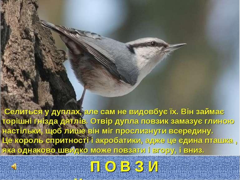 П О В З И К Селиться у дуплах, але сам не видовбує їх. Він займає торішні гні...