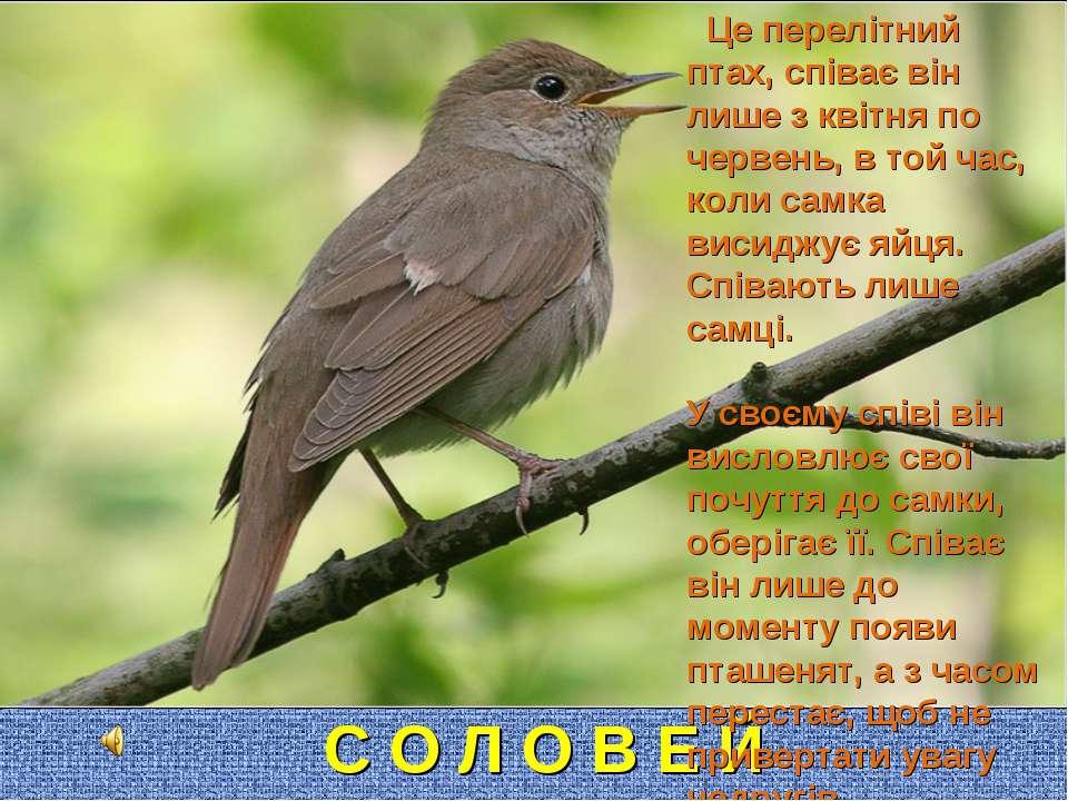 С О Л О В Е Й Це перелітний птах, співає він лише з квітня по червень, в той ...