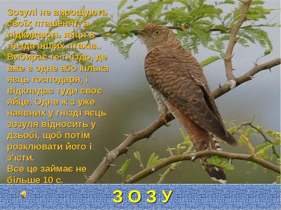 З О З У Л Я Зозулі не вирощують своїх пташенят, а підкидають яйця в гнізда ін...