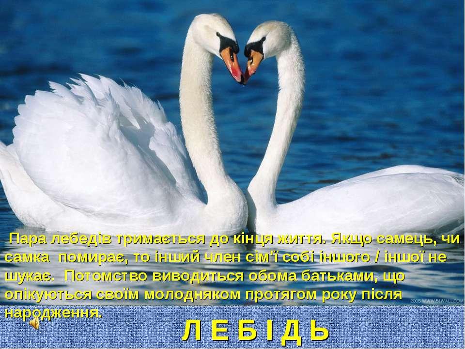 Л Е Б І Д Ь Пара лебедів тримається до кінця життя. Якщо самець, чи самка пом...