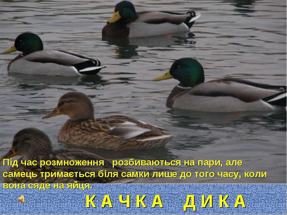 К А Ч К А Д И К А Під час розмноження розбиваються на пари, але самець тримає...