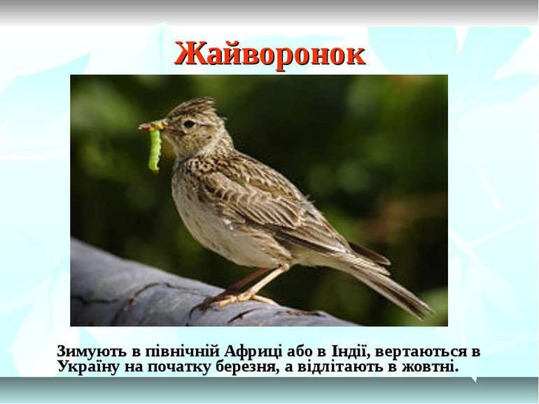 Жайворонок Зимують в північній Африці або в Індії, вертаються в Україну на по...