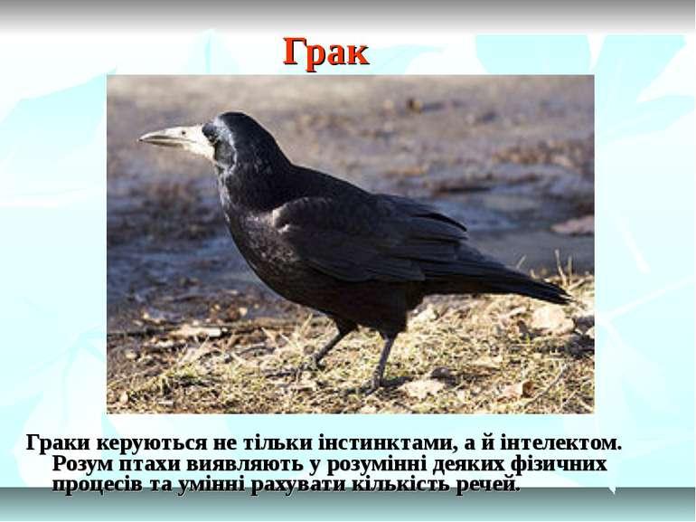 Грак Граки керуються не тільки інстинктами, а й інтелектом. Розум птахи виявл...