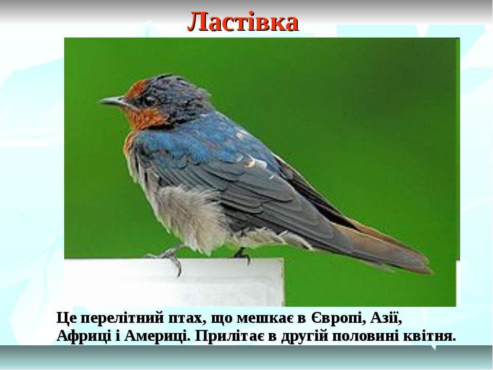 Ластівка Це перелітний птах, що мешкає в Європі, Азії, Африці і Америці. Прил...
