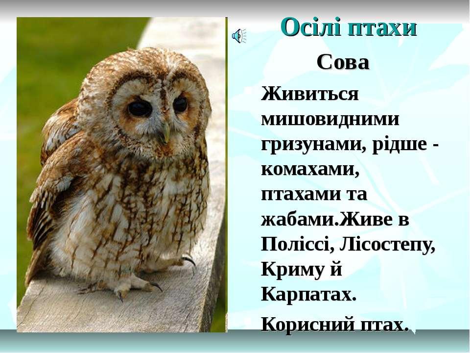 Осілі птахи Сова Живиться мишовидними гризунами, рідше - комахами, птахами та...