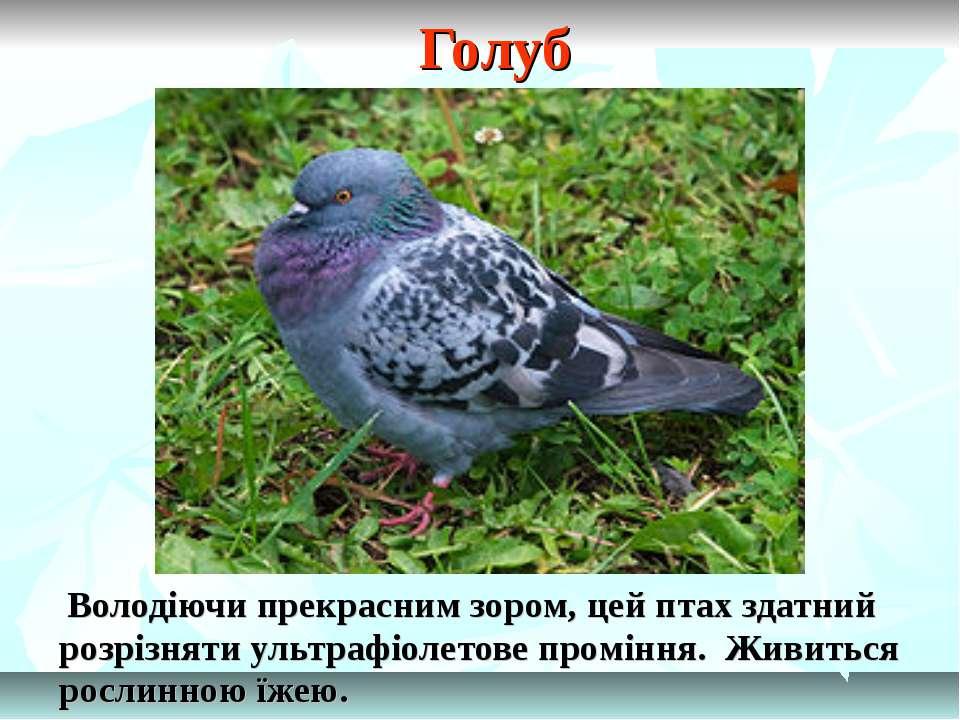 Голуб Володіючи прекрасним зором, цей птах здатний розрізняти ультрафіолетове...