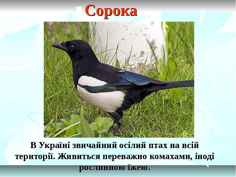 В Україні звичайний осілий птах на всій території. Живиться переважно комахам...