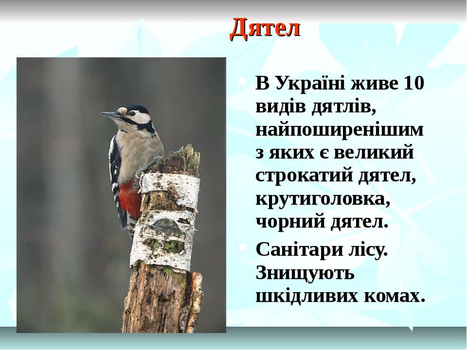 Дятел В Україні живе 10 видів дятлів, найпоширенішим з яких є великий строкат...