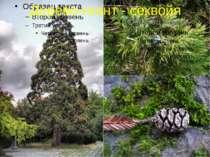 Дерево-гігант - секвойя