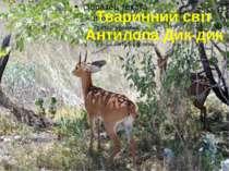 Тваринний світ Антилопа Дик-дик