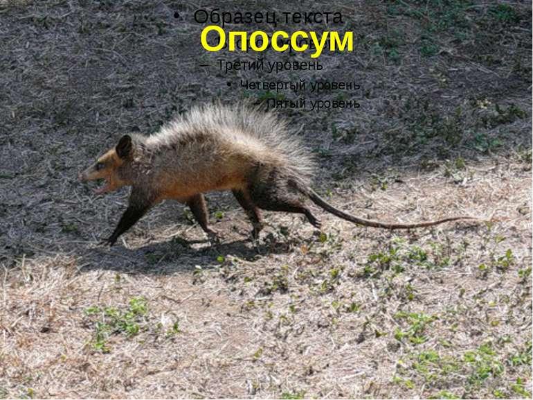 Опоссум