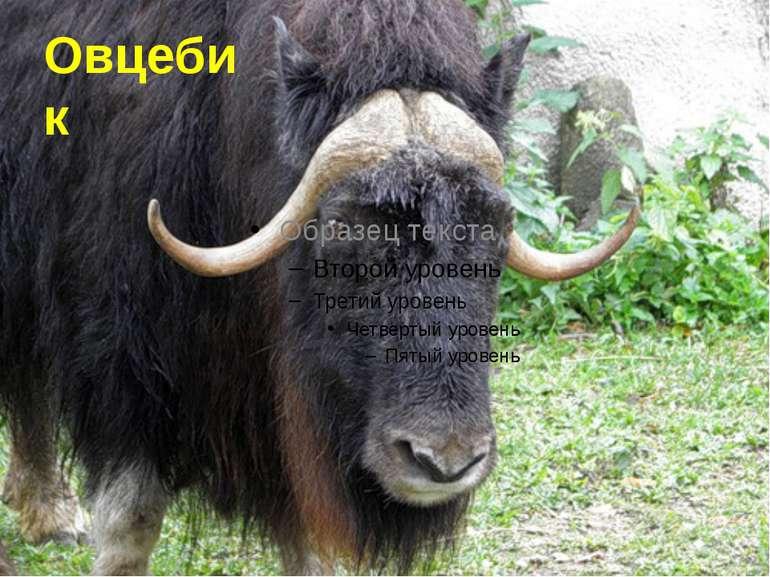 Овцебик