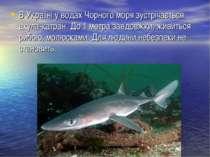 В Україні у водах Чорного моря зустрічається акула-катран. До 1 метра завдовж...