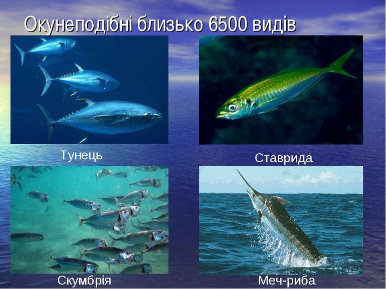 Окунеподібні близько 6500 видів Тунець Скумбрія Ставрида Меч-риба