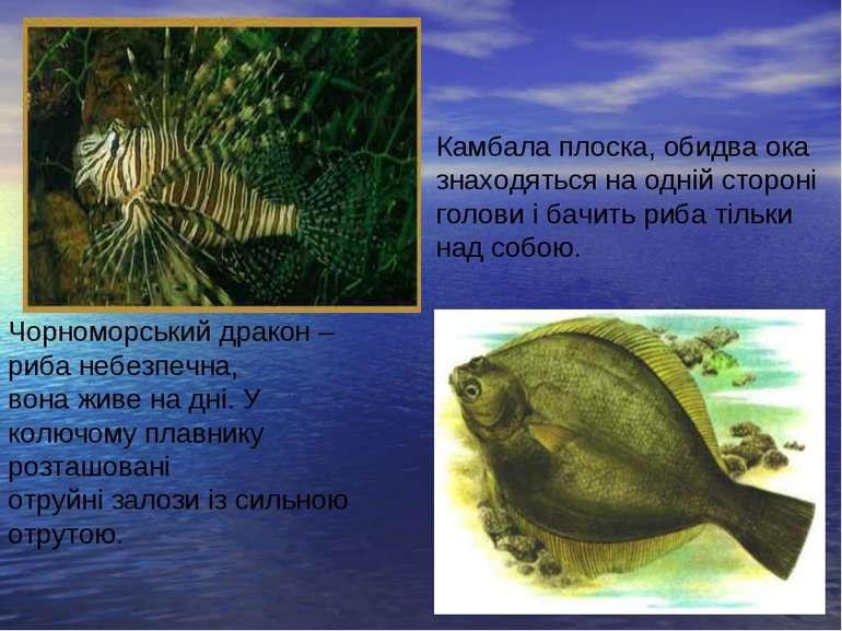 Чорноморський дракон – риба небезпечна, вона живе на дні. У колючому плавнику...