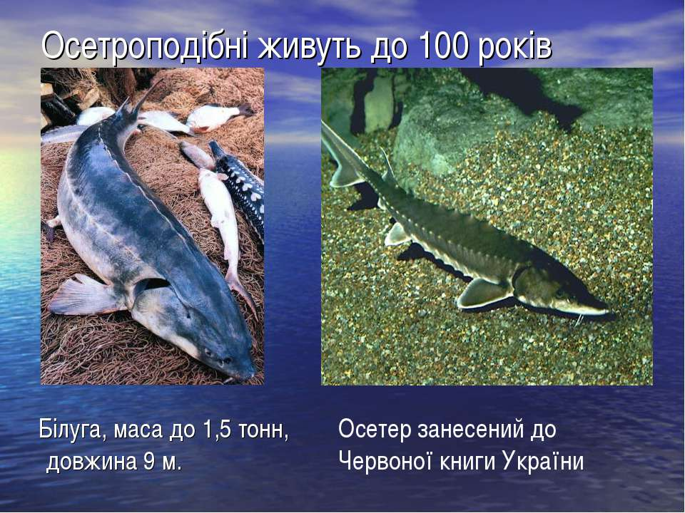 Осетроподібні живуть до 100 років Білуга, маса до 1,5 тонн, довжина 9 м. Осет...