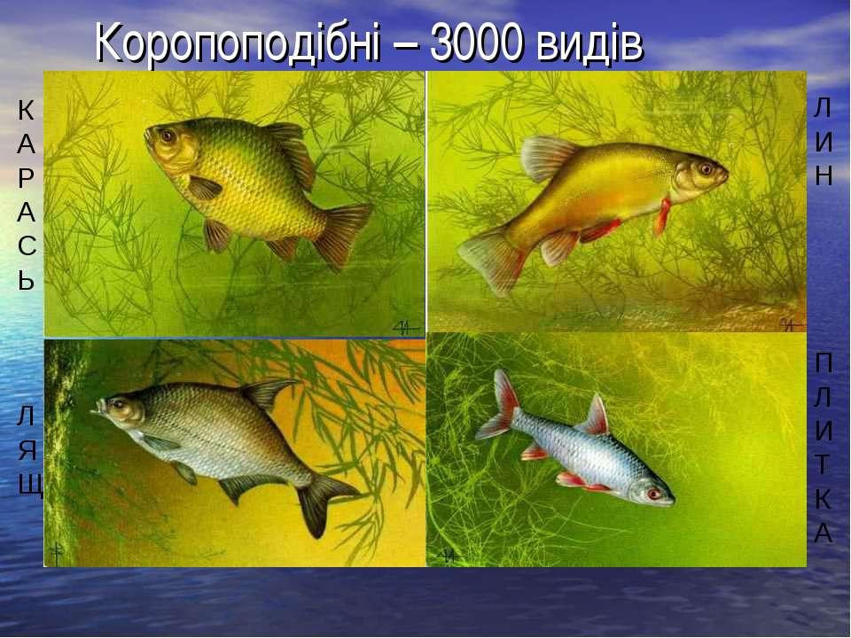 Коропоподібні – 3000 видів Л И Н П Л И Т К А К А Р А С Ь Л Я Щ