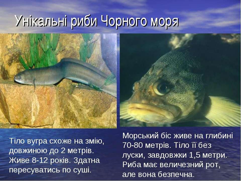 Унікальні риби Чорного моря Тіло вугра схоже на змію, довжиною до 2 метрів. Ж...
