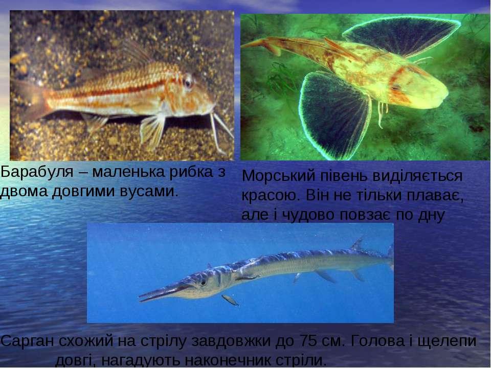 Барабуля – маленька рибка з двома довгими вусами. Морський півень виділяється...