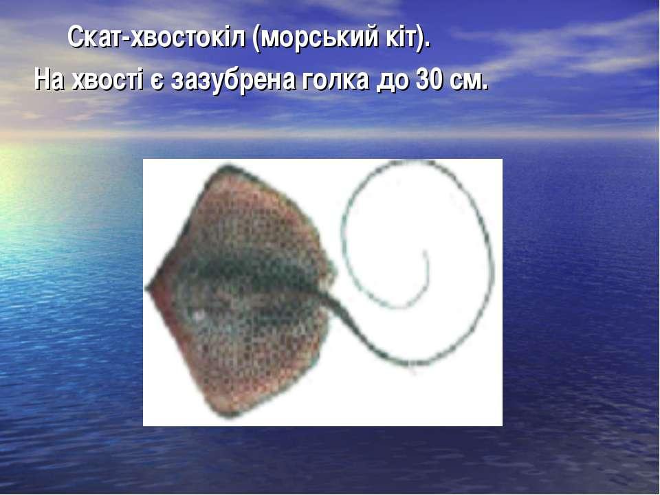 Скат-хвостокіл (морський кіт). На хвості є зазубрена голка до 30 см.