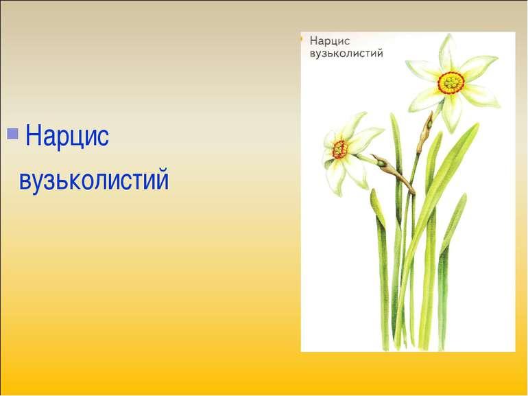 Нарцис вузьколистий