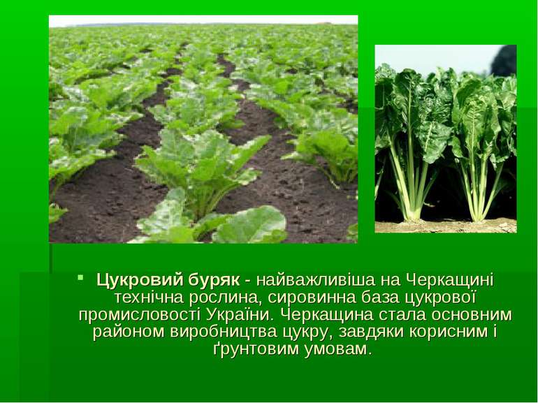 Цукровий буряк - найважливіша на Черкащині технічна рослина, сировинна база ц...