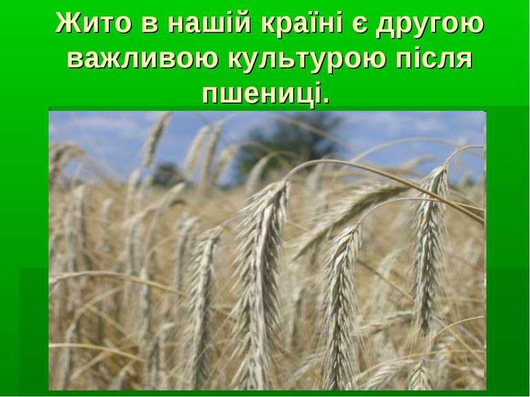 Жито в нашій країні є другою важливою культурою після пшениці.
