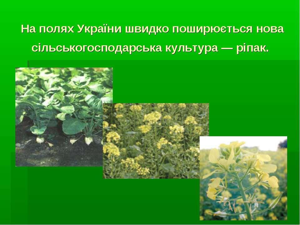 На полях України швидко поширюється нова сільськогосподарська культура — ріпак.