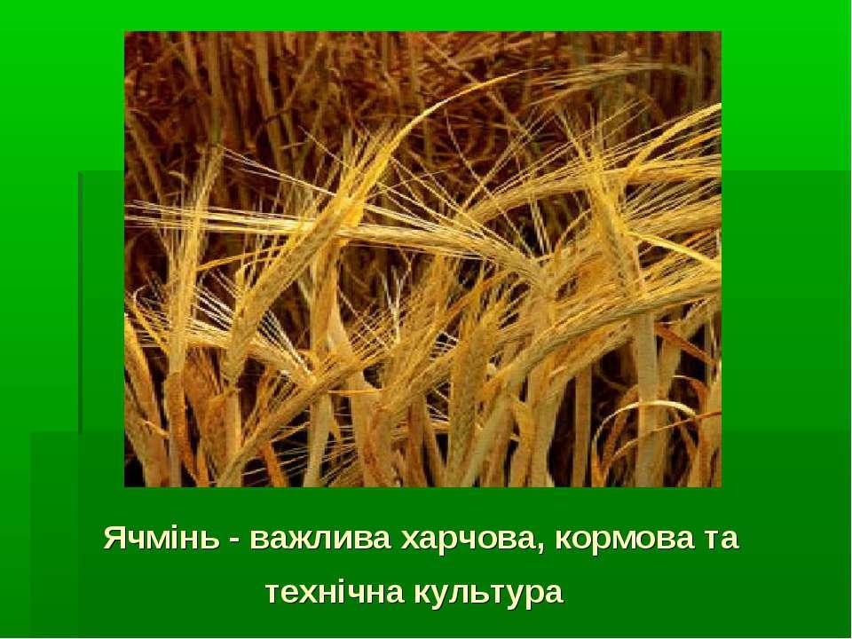 Ячмінь - важлива харчова, кормова та технічна культура