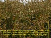 Зерно вівса - гарний концентрований корм для коней, корів. Зерно вівсу являє ...