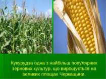 Кукурудза одна з найбільш популярних зернових культур, що вирощується на вели...